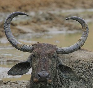 800px-Flickr_-_Rainbirder_-_Water_Buffalo